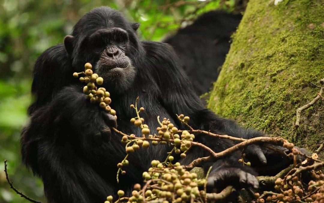 Favorable Ngogo Ecology