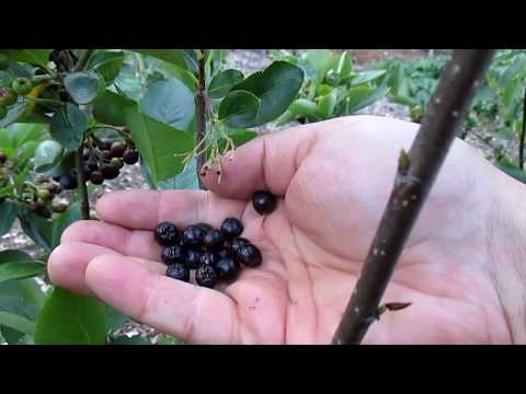 This Easy To Grow Berry Has 3 X's The Antioxidants As Blueberries!